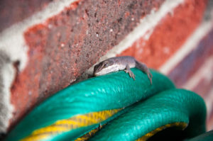 North Carolina chameleon Carolina anole crawls on a green hose against a brick background.
