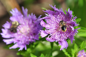 Daniel Stowe Botanical garden bee pollinating flower.